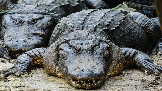 Air Base Alligators